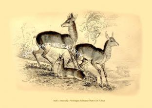 Salt's Antelope (Neotragus Saltiana) Native of Africa